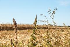 Άποψη στεγνωμένο cornfield στοκ εικόνα με δικαίωμα ελεύθερης χρήσης