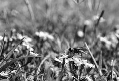 Άποψη σχεδιαγράμματος, μακρο φωτογραφία μιας μύγας λουλουδιών που απορροφά το νέκταρ από ένα μικρό wildflower στοκ φωτογραφίες