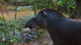 Άποψη σχεδιαγράμματος του Αμαζονίου Tapir στην του Εκουαδόρ Αμαζώνα Κοινά ονόματα: Tapir, Danta Στοκ εικόνα με δικαίωμα ελεύθερης χρήσης