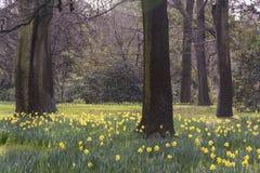 Άποψη σχετικά με έναν τομέα των όμορφων daffodils που ανθίζουν την πρώιμη άνοιξη μεταξύ των δέντρων με τους γυμνούς κλάδους Σημάδ στοκ φωτογραφία
