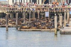 Άποψη σχετικά με τα λιοντάρια θάλασσας με πολύ τουρίστα στην αποβάθρα 39, Σαν Φρανσίσκο Στοκ Εικόνα