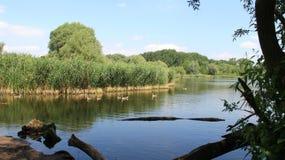 Άποψη της ήρεμης φυσικής λίμνης κατά τη διάρκεια της άνοιξης και του καλοκαιριού με την οικογένεια χήνων στοκ φωτογραφίες