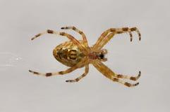 Άποψη της αράχνης διαβίωσης στον Ιστό του Στοκ Εικόνες