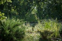 Άποψη της παλαιάς λίμνης με τους ανθίζοντας κρίνους νερού μέσω των κλάδων των evergreens θερινό ηλιόλουστο swallowtail χλόης ημέρ στοκ φωτογραφίες με δικαίωμα ελεύθερης χρήσης
