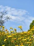 Άποψη της πράσινης χλόης και των μικρών χαριτωμένων κίτρινων chamomiles στοκ φωτογραφίες με δικαίωμα ελεύθερης χρήσης