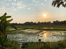 Άποψη τομέων ρυζιού πριν από το ηλιοβασίλεμα στοκ εικόνες