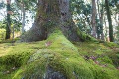 Άποψη του βρύου στο μεγάλο δέντρο ρίζας Στοκ Εικόνες