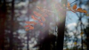 Άποψη του ευρωπαϊκού δάσους φθινοπώρου φιλμ μικρού μήκους