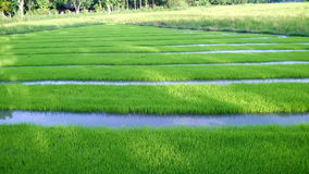 Άποψη του νέου νεαρού βλαστού ρυζιού έτοιμου στην ανάπτυξη στον τομέα ρυζιού Στοκ Φωτογραφίες