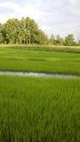 Άποψη του νέου νεαρού βλαστού ρυζιού έτοιμου στην ανάπτυξη στον τομέα ρυζιού Στοκ Φωτογραφία
