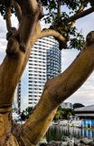 Άποψη του ορίζοντα του Σαν Ντιέγκο μέσω των μεγάλων κλώνων ενός δέντρου ευκαλύπτων Στοκ εικόνα με δικαίωμα ελεύθερης χρήσης