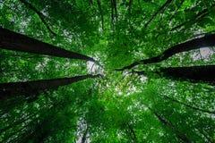 Άποψη του ουρανού σε ένα δάσος οξιών Στοκ φωτογραφίες με δικαίωμα ελεύθερης χρήσης