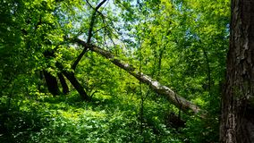 Άποψη του πράσινου δασικού εσωτερικού στην ημέρα Πολύβλαστες δέντρα, φυτά, και πρασινάδα φύλλων κάτω από το θόλο δέντρων απόθεμα βίντεο