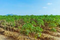 Άποψη του τομέα μανιόκων στοκ φωτογραφία με δικαίωμα ελεύθερης χρήσης
