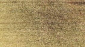 Άποψη του χρυσού σίτου ήπια που ταλαντεύεται στο αεράκι φιλμ μικρού μήκους