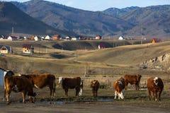 Άποψη του χωριού με τις αγελάδες στο πρώτο πλάνο στα βουνά της Δημοκρατίας Altai Στοκ εικόνες με δικαίωμα ελεύθερης χρήσης