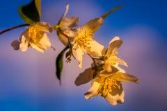 Άποψη των ανθίζοντας λουλουδιών στον κλάδο δέντρων μηλιάς Στοκ Φωτογραφία