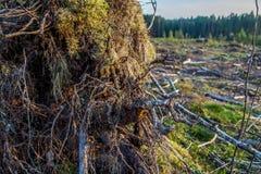 Άποψη των κούτσουρων των καταρριφθε'ντων δέντρων Στοκ φωτογραφία με δικαίωμα ελεύθερης χρήσης