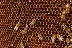 Άποψη των μελισσών εργασίας στην κηρήθρα με το γλυκό μέλι Στοκ Εικόνες