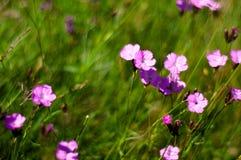 Άποψη των ρόδινων λουλουδιών κοριτσιών στα βουνά Ciucas, ρουμανικά Carpathians Στοκ Φωτογραφίες