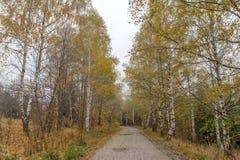 Άποψη φθινοπώρου με τις σημύδες κατά μήκος του τρόπου, Vitosha βουνό, Βουλγαρία Στοκ Εικόνες