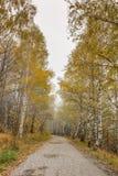 Άποψη φθινοπώρου με τις σημύδες κατά μήκος του τρόπου, Vitosha βουνό, Βουλγαρία Στοκ Φωτογραφίες