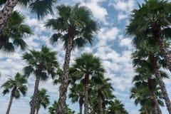 Άποψη φοινίκων από το κατώτατο σημείο μέχρι τον ουρανό στην ηλιόλουστη ημέρα στοκ φωτογραφίες