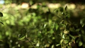 Άποψη φύσης κινηματογραφήσεων σε πρώτο πλάνο των πράσινων φύλλων στο θολωμένο υπόβαθρο πρασινάδων στο δάσος φιλμ μικρού μήκους