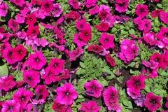 Άποψη χρωματισμένων των ροδανιλίνη λουλουδιών της πετούνιας στοκ φωτογραφίες με δικαίωμα ελεύθερης χρήσης