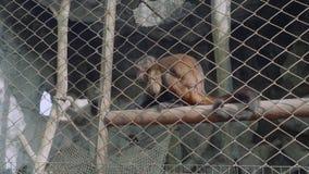 Άποψη capuchin του πιθήκου στον ανοικτό ζωολογικό κήπο Khao Kheow φιλμ μικρού μήκους