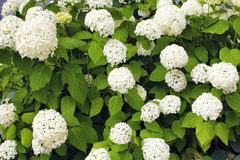 Άποψη Hydrangea arborescens ` Annabelle ` Στοκ Εικόνες