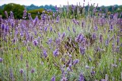 Άποψη Lavender στο Lavender Mayfield αγρόκτημα Στοκ Εικόνα