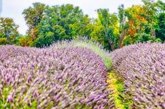 Άποψη Lavender στο Lavender Mayfield αγρόκτημα Στοκ Φωτογραφία