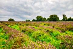 Άποψη Lavender στο Lavender Mayfield αγρόκτημα Στοκ Φωτογραφίες