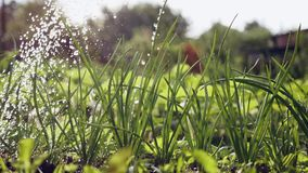 Άρδευση των πράσινων κρεμμυδιών στον κήπο φιλμ μικρού μήκους