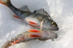άριστη πέρκα αλιείας Στοκ Εικόνα