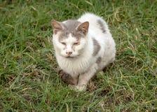 Άρρωστη και βρώμικη άσπρη και γκρίζα περιπλανώμενη άγρια γάτα Στοκ φωτογραφία με δικαίωμα ελεύθερης χρήσης