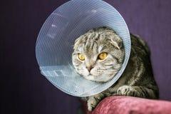 Άρρωστη σκωτσέζικη γάτα σε ένα πλαστικό προστατευτικό περιλαίμιο στοκ εικόνες