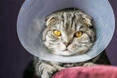 Άρρωστη σκωτσέζικη γάτα σε ένα πλαστικό προστατευτικό περιλαίμιο στοκ φωτογραφίες με δικαίωμα ελεύθερης χρήσης