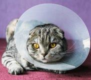 Άρρωστη σκωτσέζικη γάτα σε ένα πλαστικό προστατευτικό περιλαίμιο στοκ φωτογραφίες