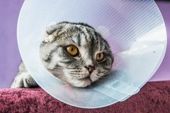 Άρρωστη σκωτσέζικη γάτα σε ένα πλαστικό προστατευτικό περιλαίμιο στοκ εικόνα με δικαίωμα ελεύθερης χρήσης