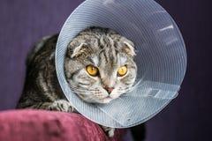 Άρρωστη σκωτσέζικη γάτα σε ένα πλαστικό προστατευτικό περιλαίμιο στοκ φωτογραφία