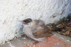 Άρρωστο πουλί Στοκ φωτογραφίες με δικαίωμα ελεύθερης χρήσης