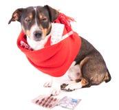 Άρρωστο σκυλί με την ιατρική σε ένα άσπρο υπόβαθρο Στοκ Εικόνα