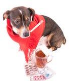 Άρρωστο σκυλί με την ιατρική σε ένα άσπρο υπόβαθρο Στοκ εικόνες με δικαίωμα ελεύθερης χρήσης