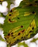 Άρρωστο φύλλο κάστανων το φθινόπωρο Στοκ Εικόνα
