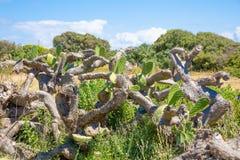 Άρρωστο opuntia κάκτων εγκαταστάσεων ficus-Indica στην επαρχία στοκ εικόνα