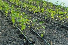 Άρδευση σταλαγματιάς των σποροφύτων πιπεριών στο θερμοκήπιο Στοκ εικόνα με δικαίωμα ελεύθερης χρήσης