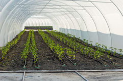 Άρδευση σταλαγματιάς των σποροφύτων πιπεριών στο θερμοκήπιο Στοκ Εικόνα