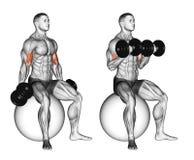 άσκηση Μπούκλες δικέφαλων μυών που κάθονται στη σφαίρα σταθερότητας ελεύθερη απεικόνιση δικαιώματος
